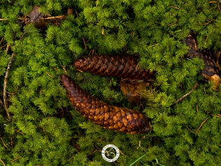 PINECONE LOVE