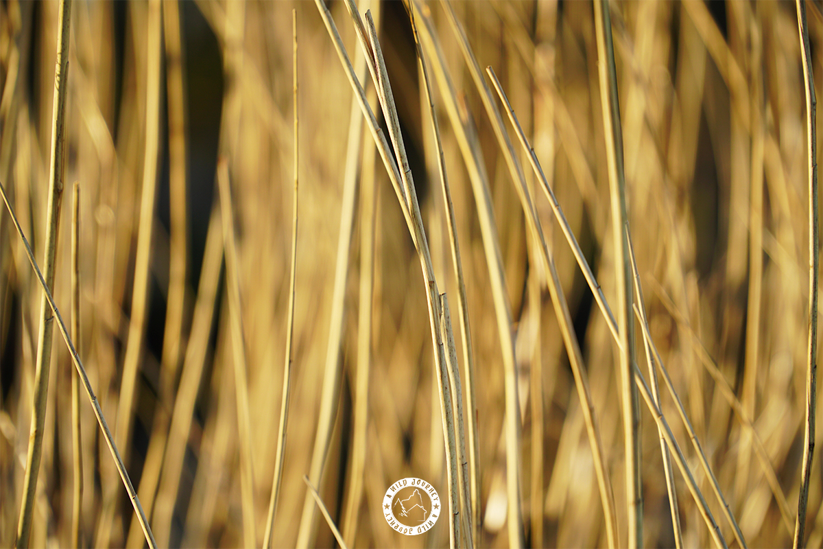 STOCK_REED